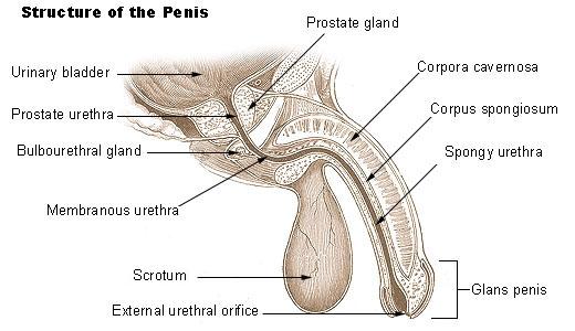 penis structure diagram